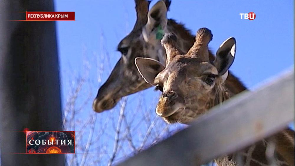 Жирафы в крымском зоопарке