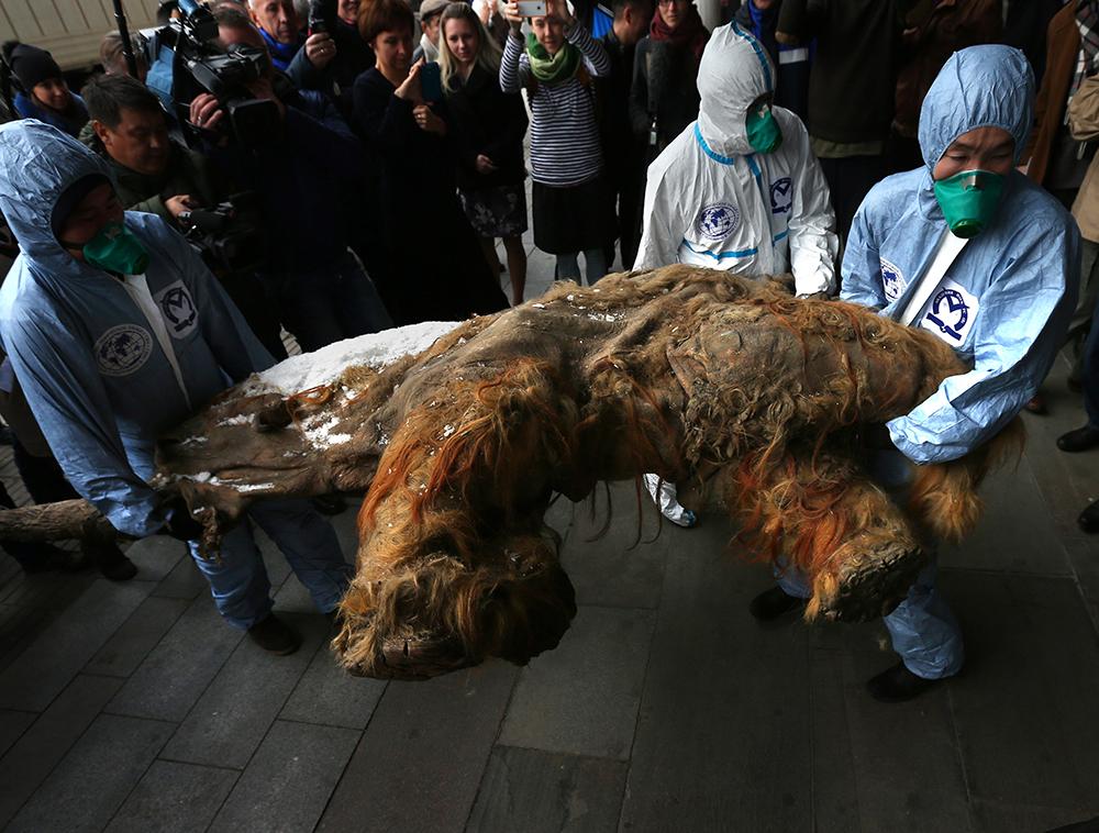 Выгрузка якутского мамонтенка Юки