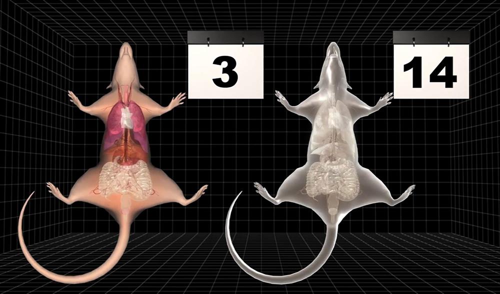 Ученым из Японии удалось создать прозрачную мышь