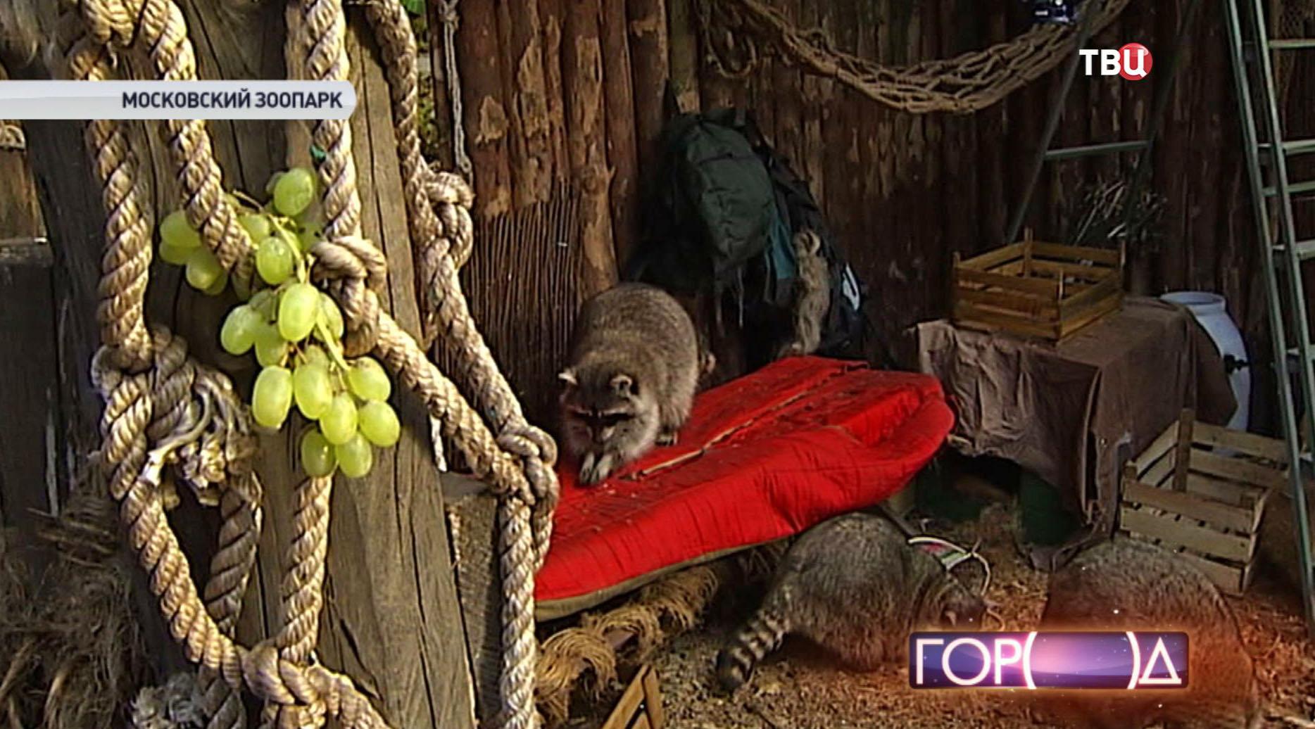 Еноты в Московском зоопарке