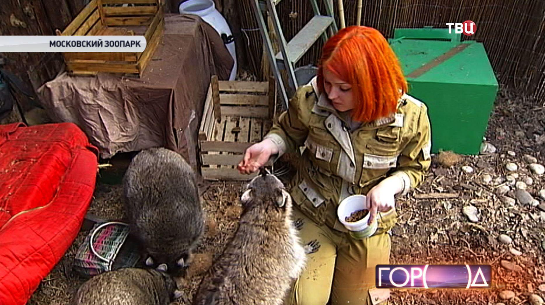 Кипер кормит енота в Московском зоопарке