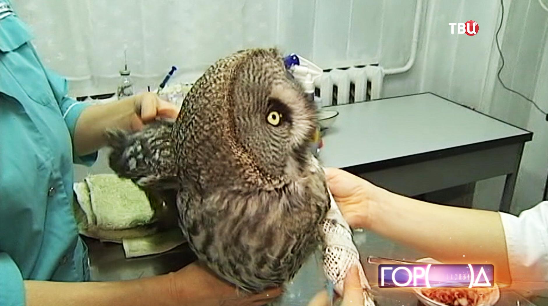 Ветеринар осматривает сову