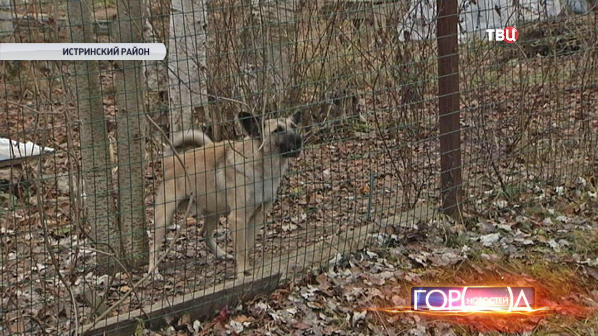 Собака в Истринском районе
