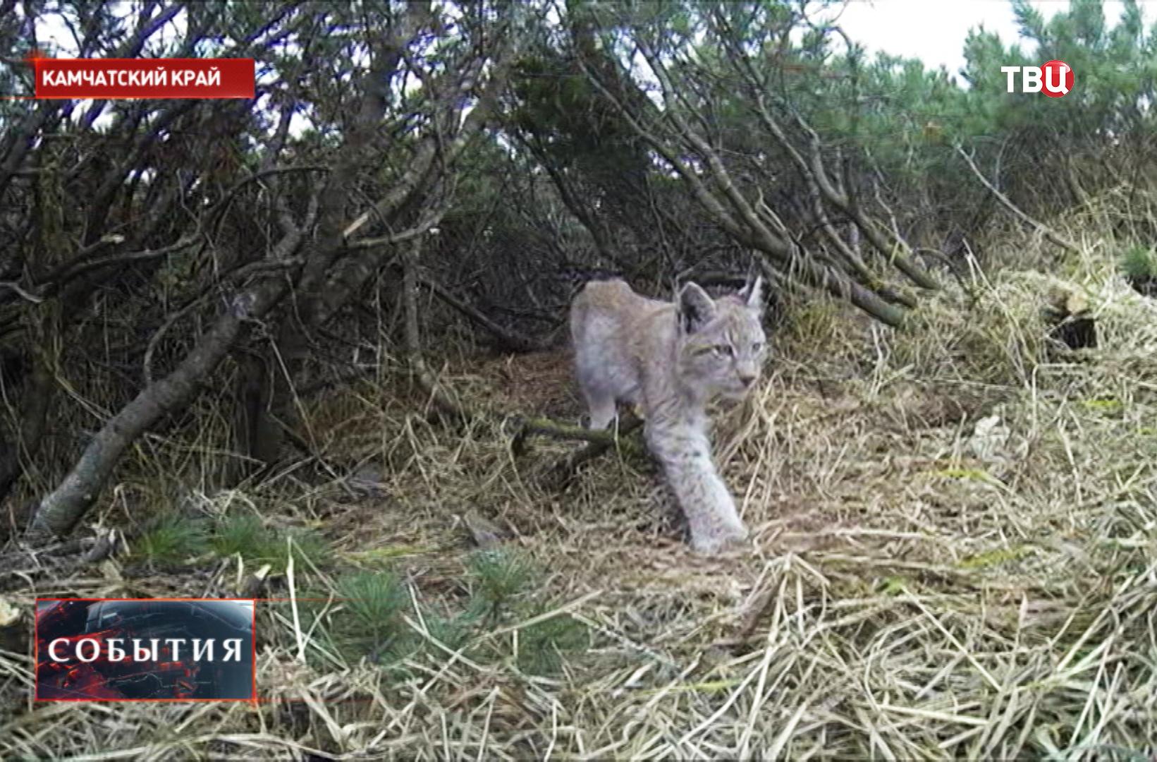 Рысь в заповеднике на Камчатке