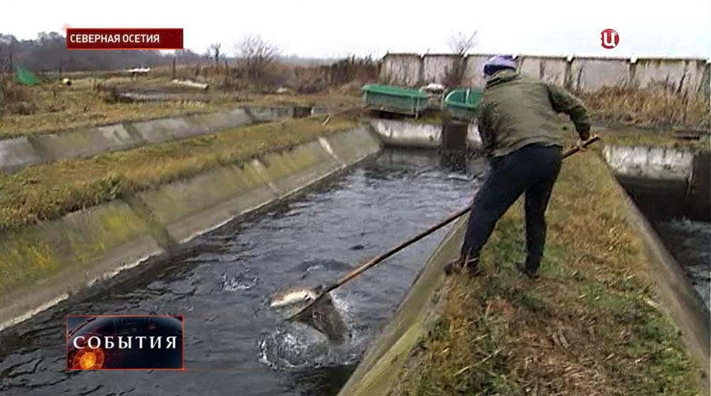 Разведение форели в Северной Осетии