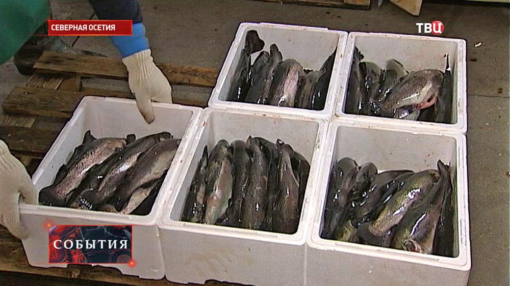 Рыбное производство в Северной Осетииб