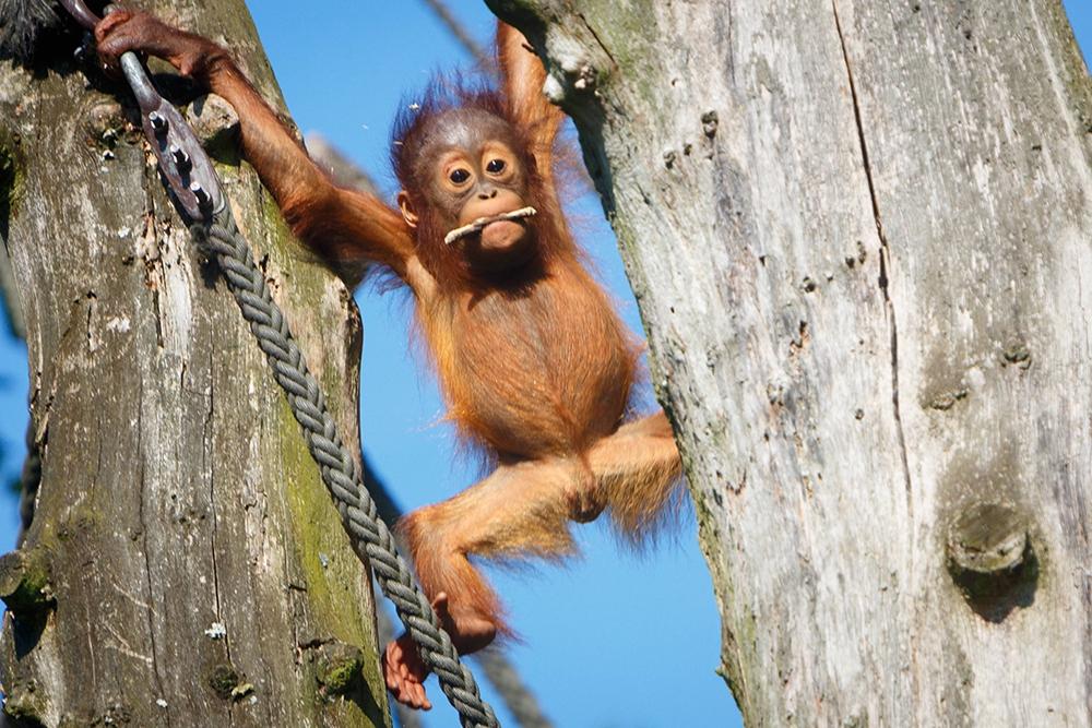 орангутанги