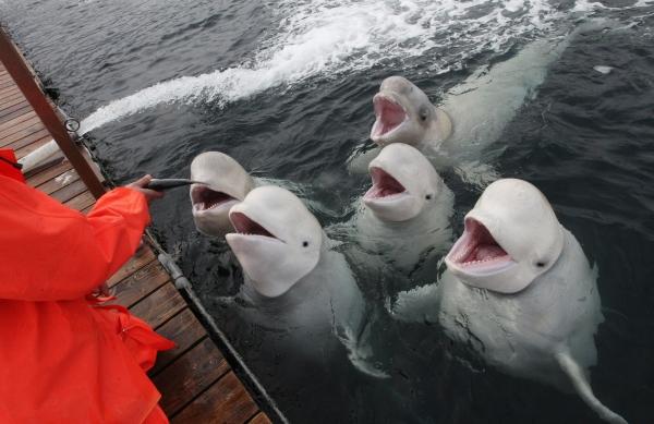Дальневосточные белухи в открытом морском вольере