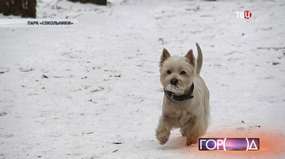 Собака породы вест хайленд уайт терьер