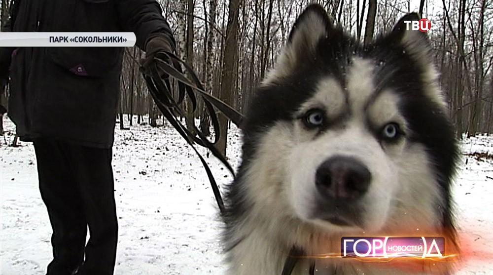 Собака породы аляскинский маламут
