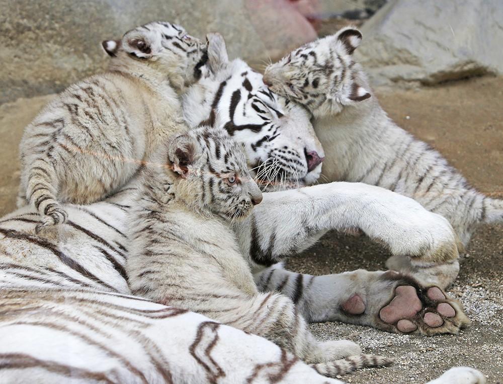 Белые тигрята в зоопарке