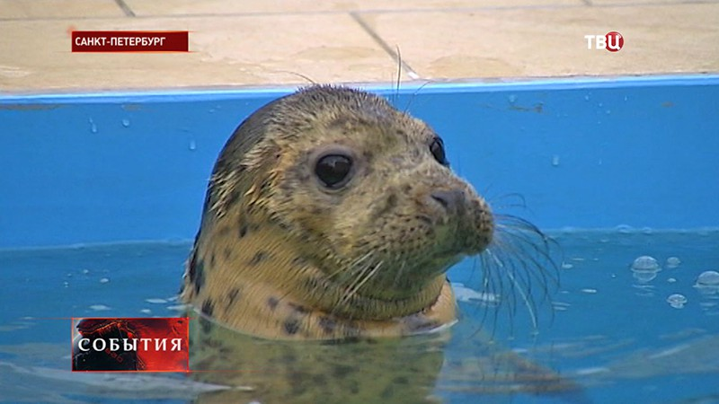 Детеныш серого тюленя