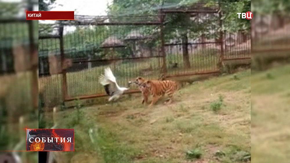 Журавль напал на тигров