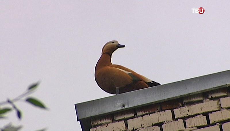 Утка огарь на крыше дома