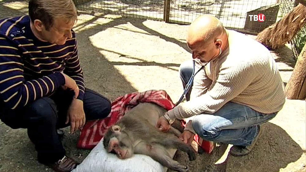Ветеринар осматривает обезьяну в Ялтинском зоопарке