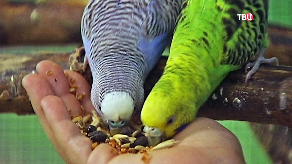 Попугаи едят с руки