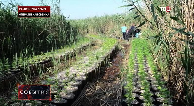 Плантация конопли в Крыму