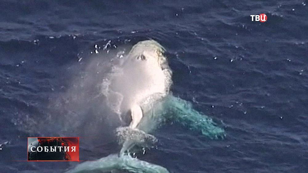 Горбатый кит-альбинос
