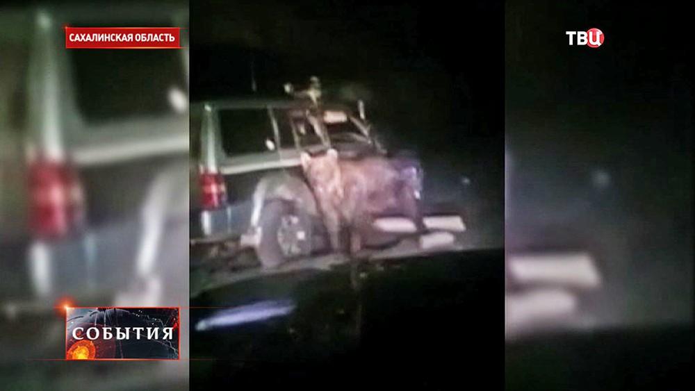 Машина сбила медведя