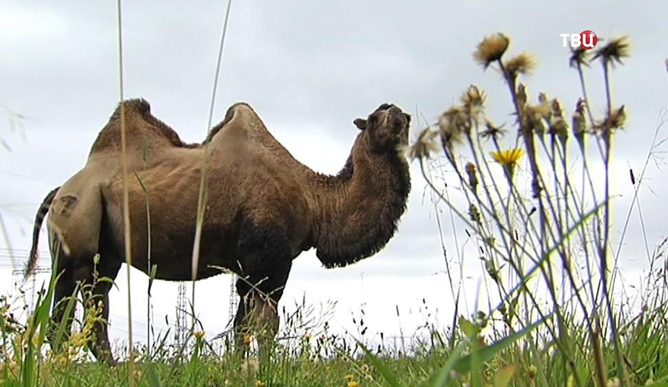 Верблюд пасётся в поле