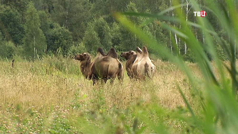 Верблюды пасутся в поле