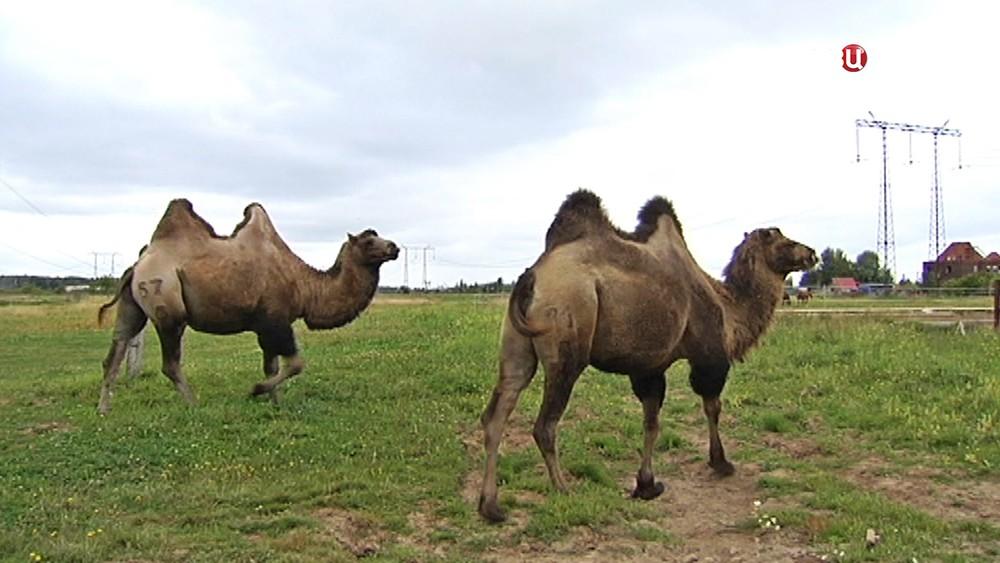 Верблюды в поле