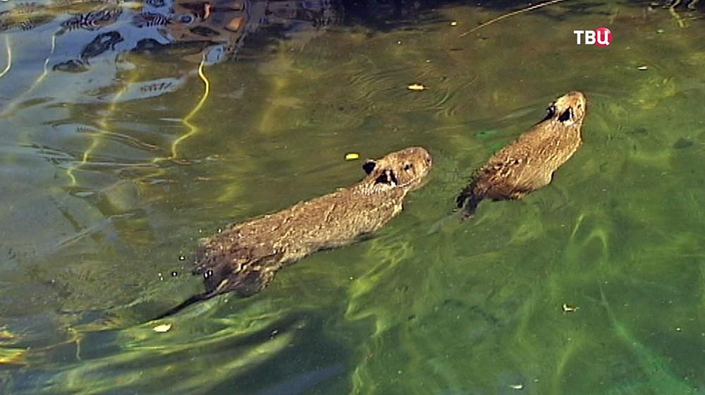 Капибары в зоопарке