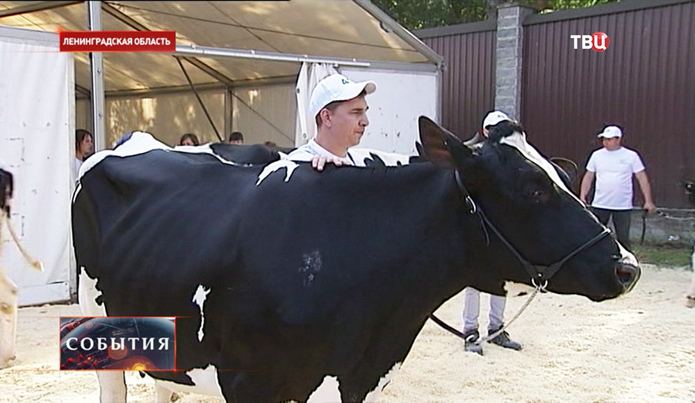 """Конкурс красоты"" для коров"