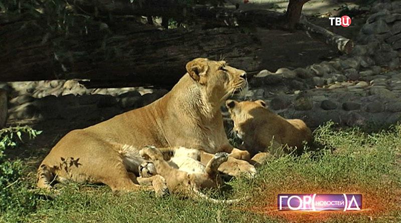 Львица с львятами в Московском зоопарке