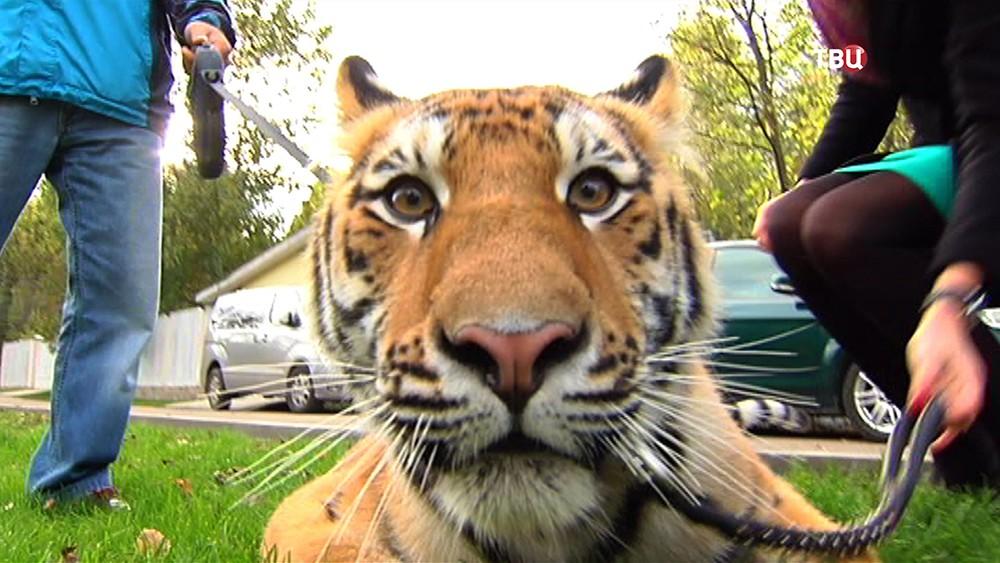 Тигр по имени Мир