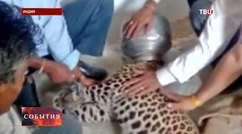 Леопард с бидоном на голове