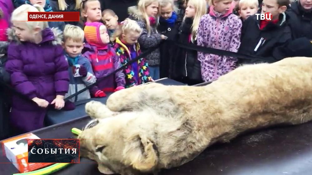 В Дании публично вскрыли тушу льва