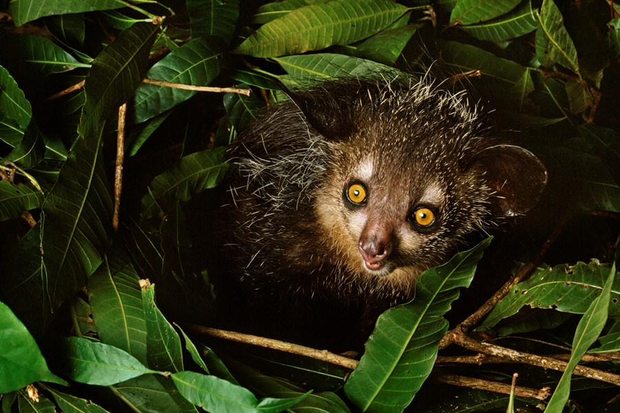 Мадагаскарская руконожка или ай-ай