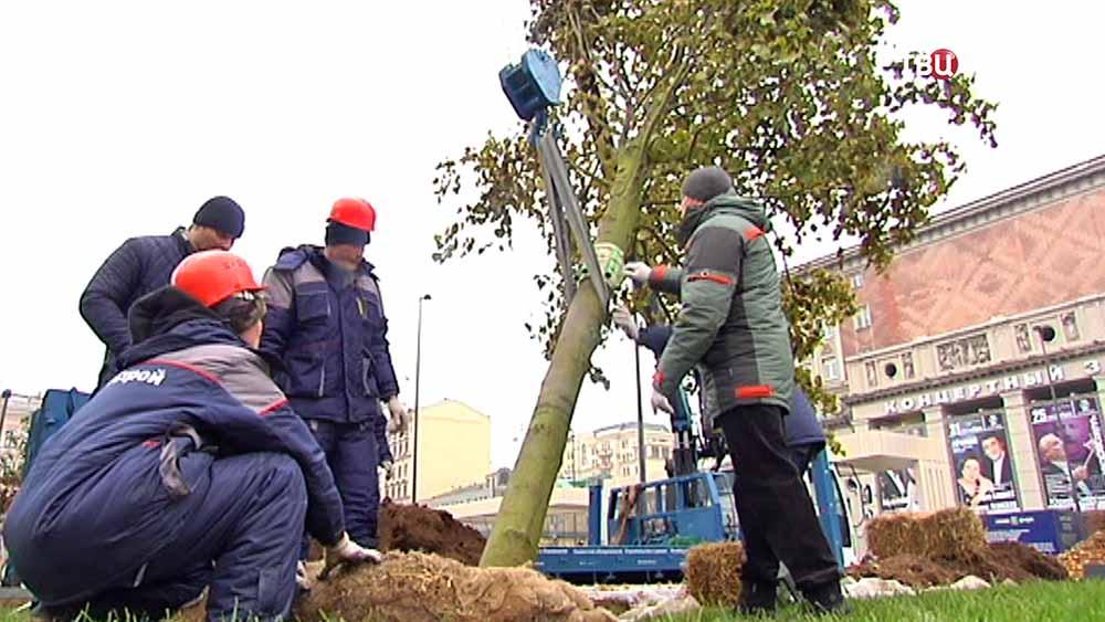 Высадка деревьев на Триумфальной площади