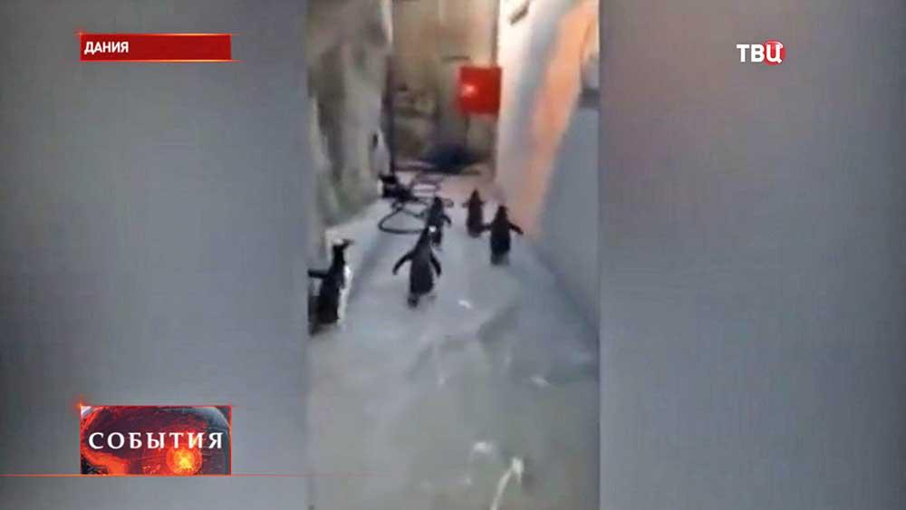 Попытка побега пингвинов из датского зоопарка
