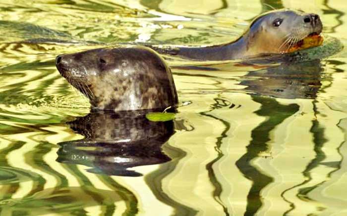 Длинномордые тюлени