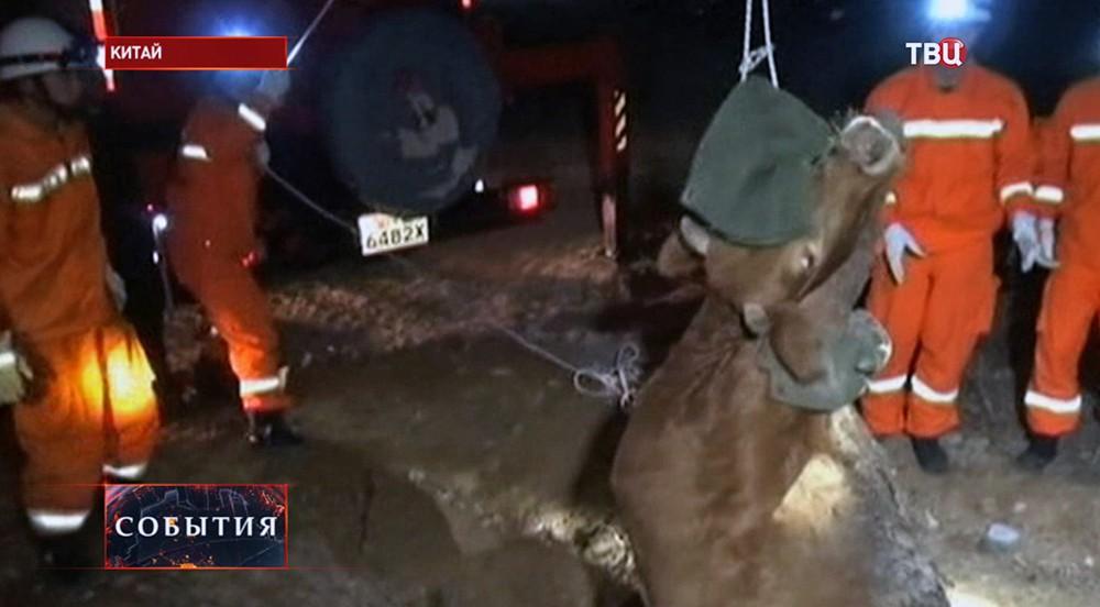 Спасатели достают из канализационного люка корову