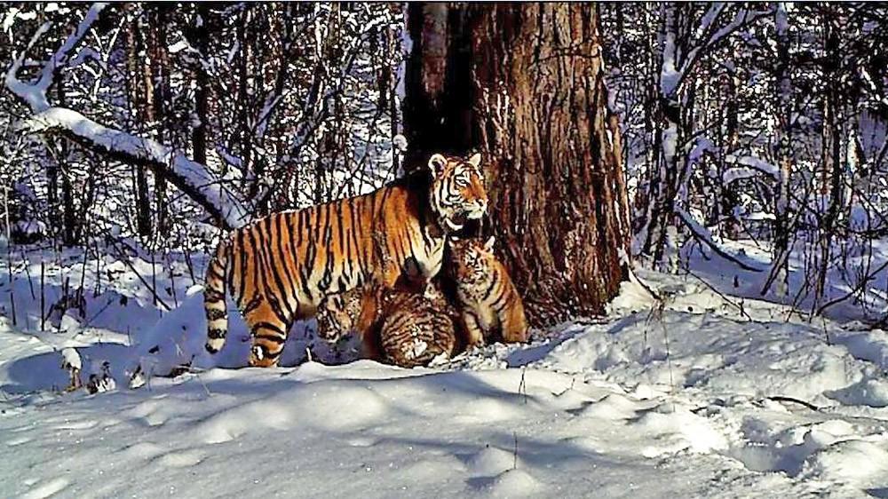 Cемейство амурских тигров