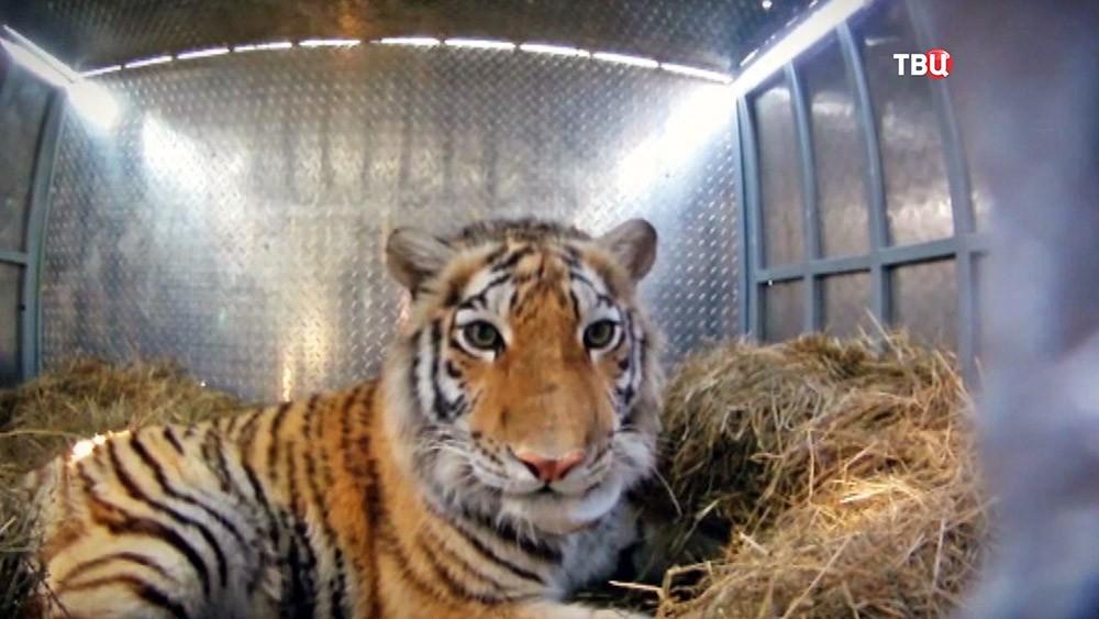 Амурский тигр в ящике