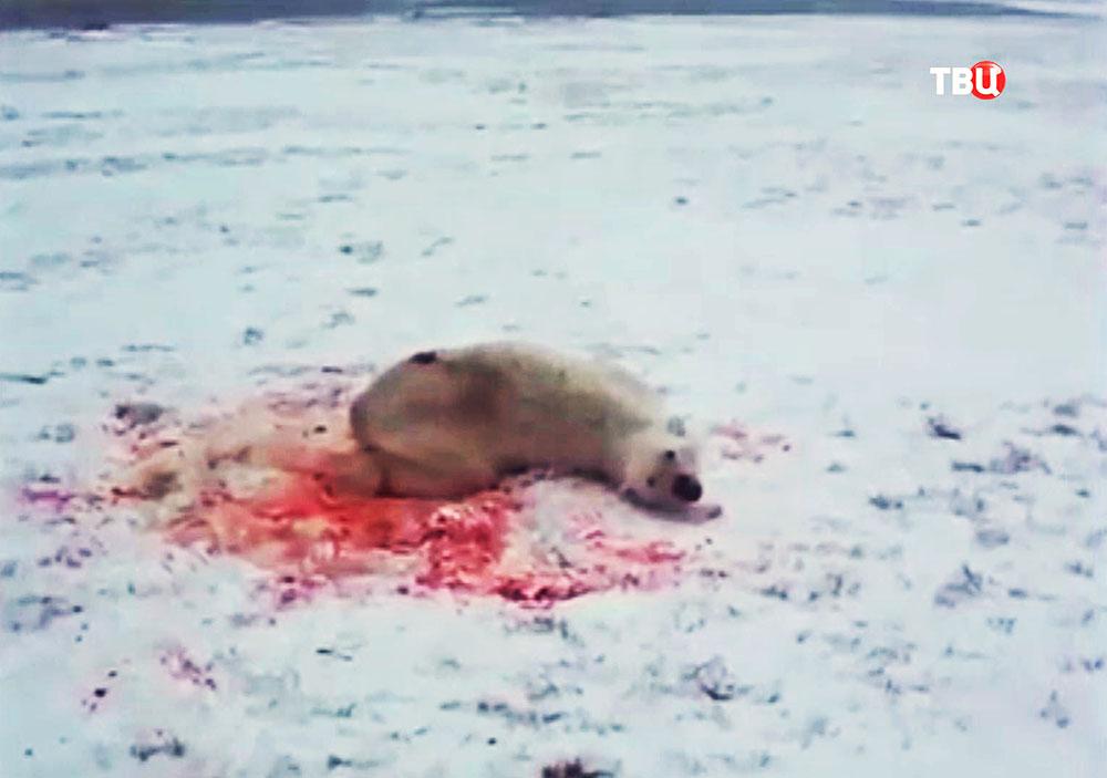 Убийство белового медведя