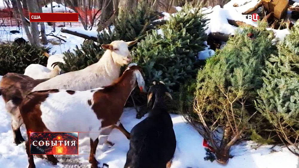Козы едят рождественские елки