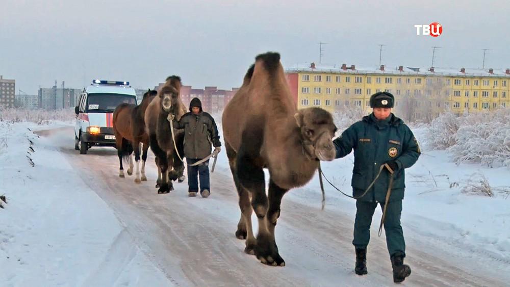 Сотрудники МЧС и верблюды