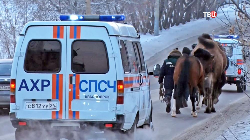 Сотрудники МЧС Красноярска спасают верблюдов