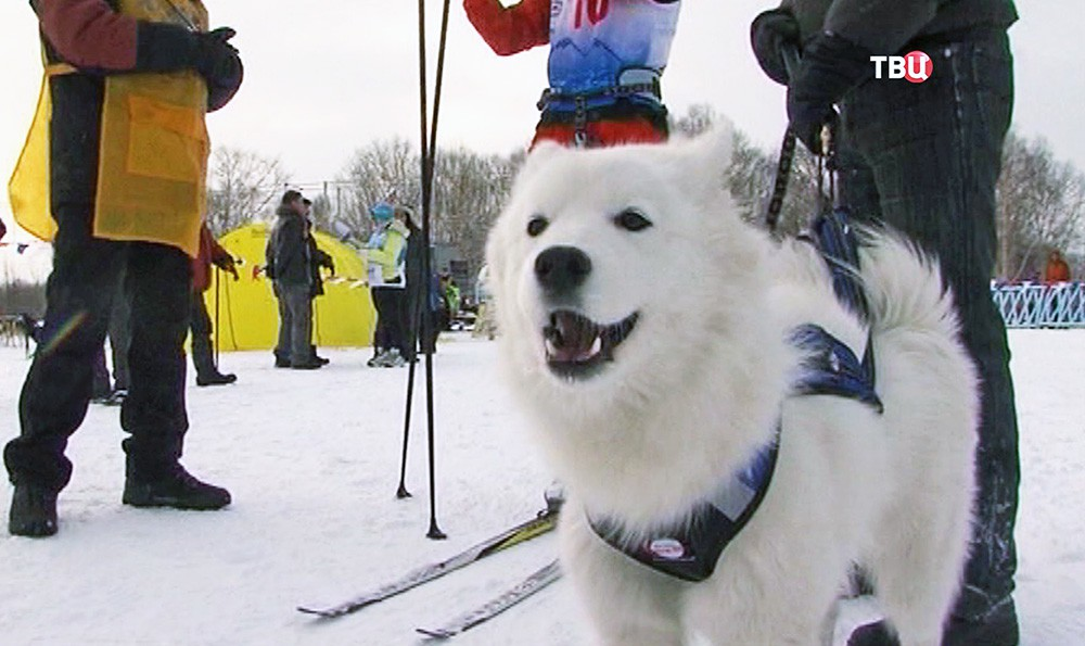 Чемпионат по ездовому спорту с собаками
