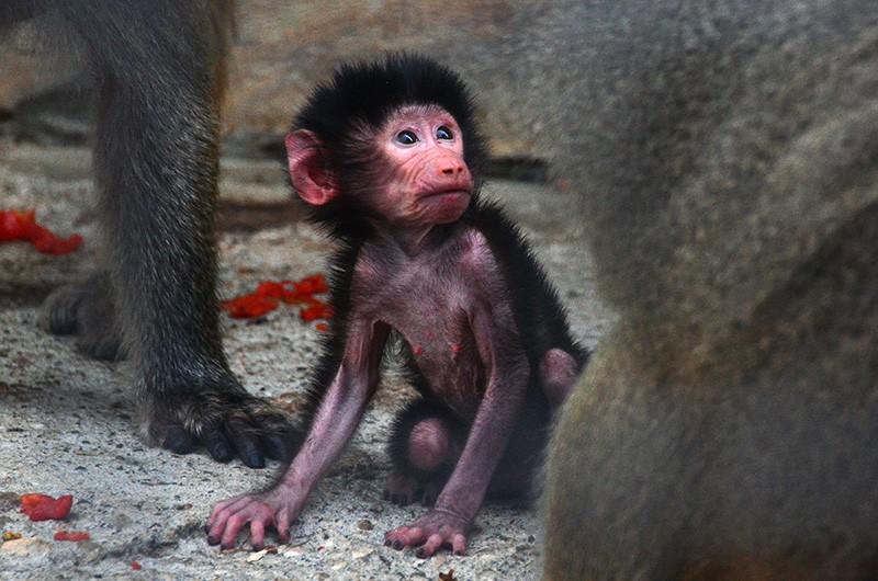 Детеныш макаки