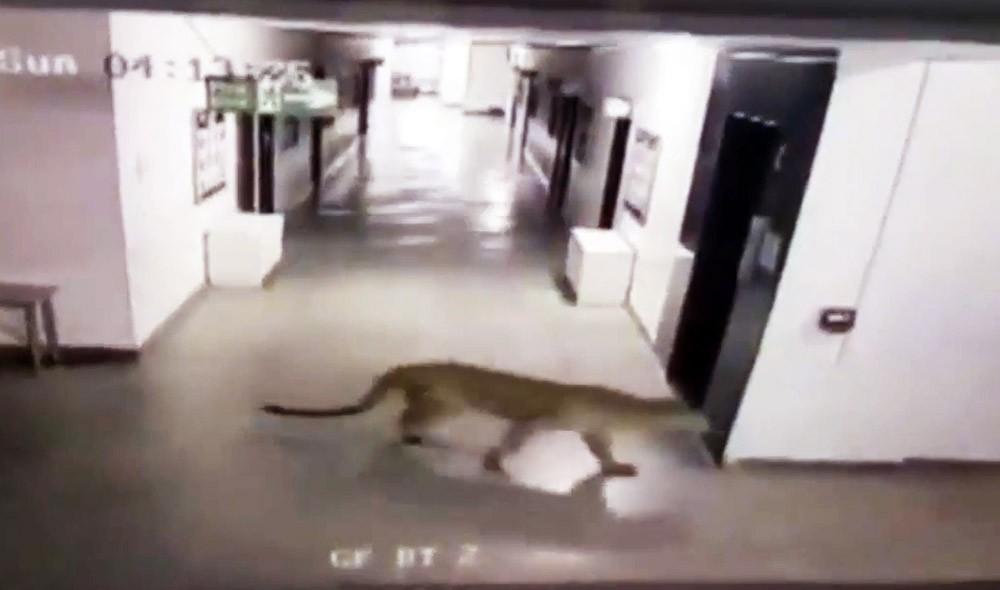 Леопард в школе в Индии