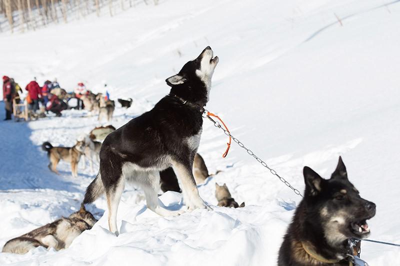 """Ездовые собаки перед стартом гонки """"Берингия 2016"""""""