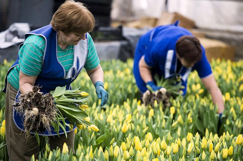 Сотрудницы хозяйственного управления ВДНХ собирают тюльпаны, выращенные в теплицах