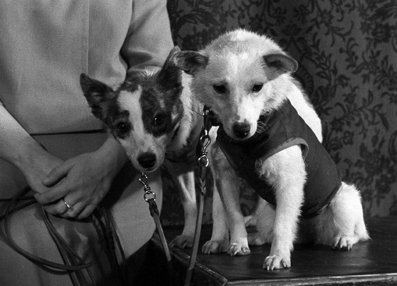 Четвероногие космонавты - собаки Белка и Стрелка