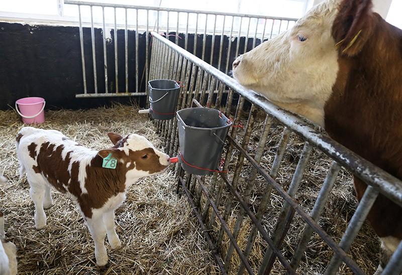 Теленок в коровнике семейной молочной фермы